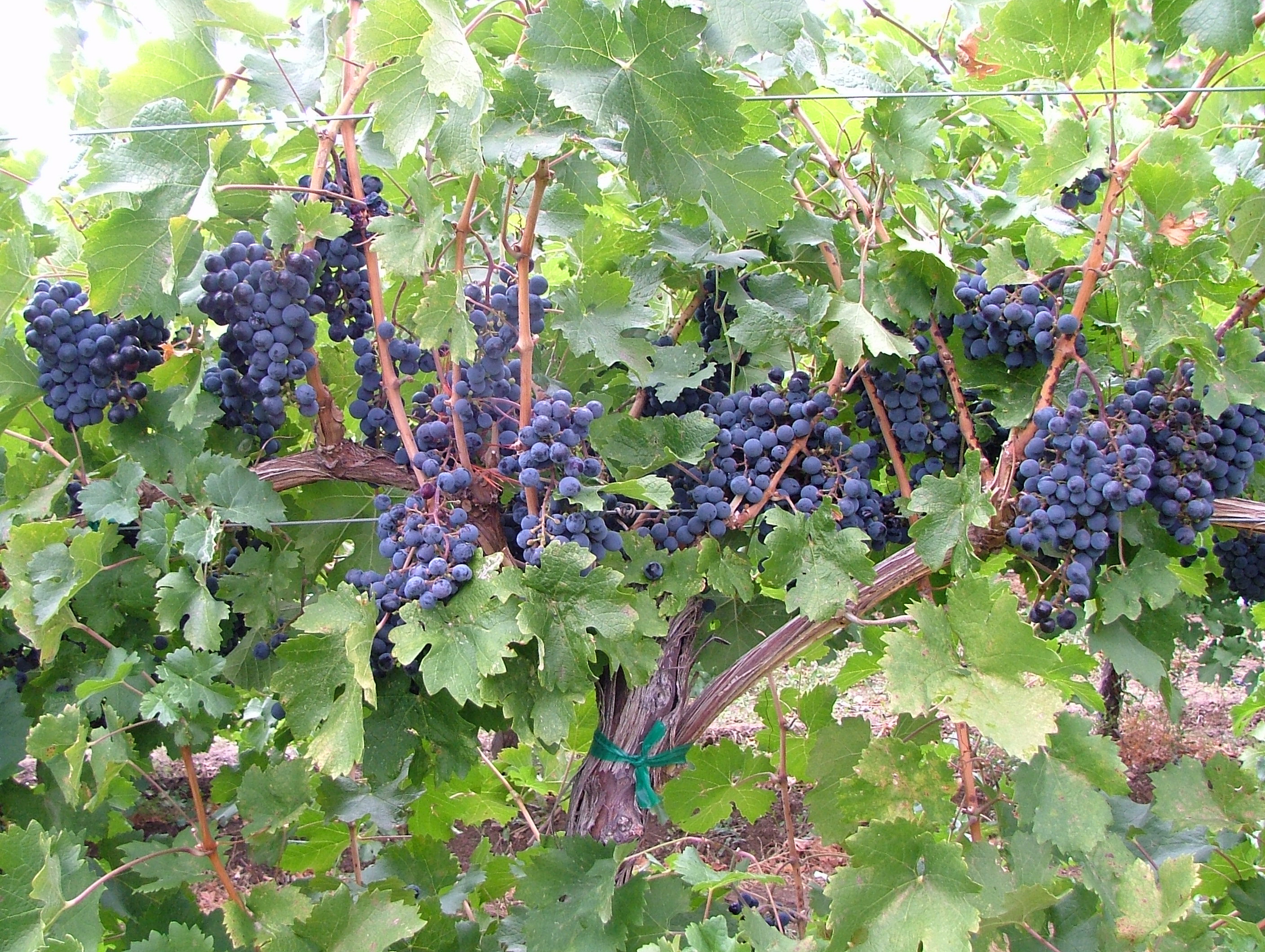 Black Bear Orchards » Photos- Wine Grapes